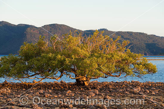 Mangrove tree standing solitary at low tide. Hayman Island, Whitsunday Islands, Queensland, Australia