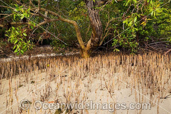 Mangrove - showing exposed roots at low tide. Hook Island, Whitsunday Islands, Queensland, Australia