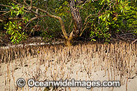 Mangroves Hook Island Photo - Gary Bell
