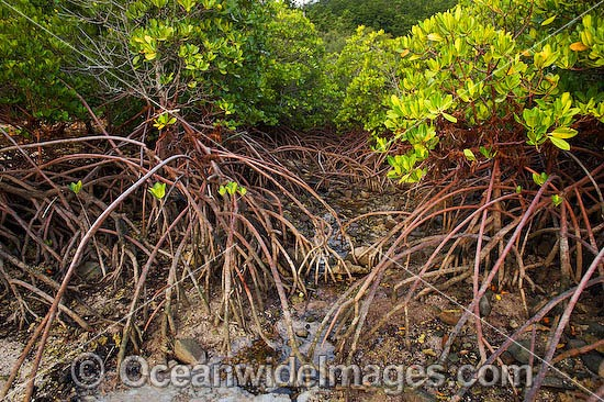 Mangrove (Rhizophora stylosa) - showing exposed stilt roots at low tide. Hook Island, Whitsunday Islands, Queensland, Australia
