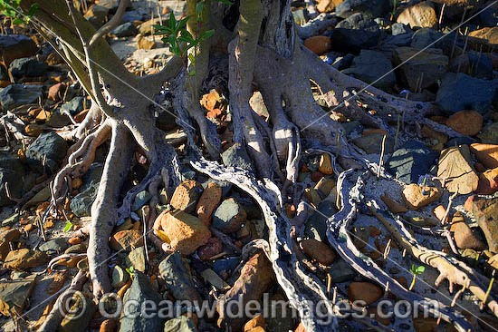 Close detail of exposed Mangrove tree roots at low tide. Hayman Island, Whitsunday Islands, Queensland, Australia