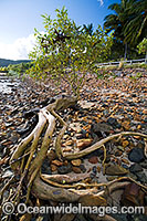 Mangrove tree Hayman Island Photo - Gary Bell