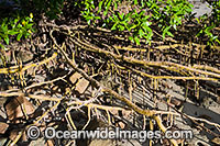 Mangrove tree roots Hayman Island Photo - Gary Bell