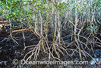 Grey Mangroves Hayman Island Photo - Gary Bell