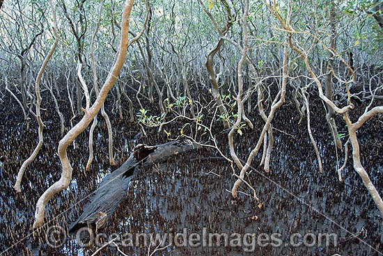 Grey Mangrove forest (Avicennia marina) - at low tide. Gold Coast, Queensland, Australia