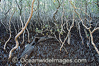 Grey Mangrove Avicennia marina Photo - Gary Bell