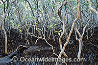 Grey Mangrove Hayman Island Photo - Gary Bell