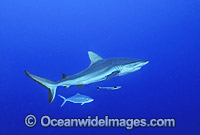 Gray Reef Shark Photo - Gary Bell