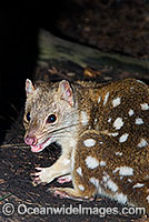 Eastern Quoll Dasyurus viverrinus Photo - Gary Bell