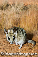Fat-tailed Dunnart Sminthopsis crassicaudata Photo - Gary Bell