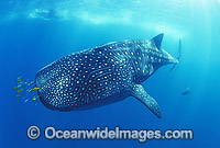 Whale Shark with Pilot Fish around mouth Photo - Gary Bell