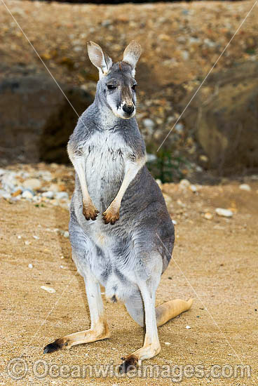 Red Kangaroo (Macropus rufus) - young male. Found in open woodland, grassland and desert over most of central and western Australia. Photo - Gary Bell