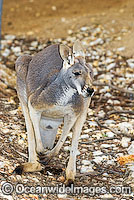Red Kangaroo Photo - Gary Bell