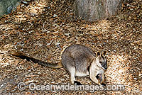 Proserpine Rock-wallaby Photo - Gary Bell