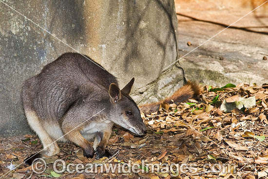 Proserpine Rock-wallaby (Petrogale persephone). Found in coastal forests and grassland around Proserpine, Airlie Beach and some of the Whitsunday Islands, Queensland, Australia. Endangered species Photo - Gary Bell