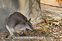 Proserpine Rock-wallaby Petrogale persephone Photo - Gary Bell