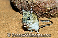 Spinifex Hopping Mouse Notomys alexis Photo - Gary Bell