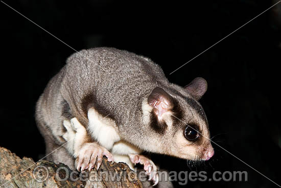 Sugar Glider (Petaurus breviceps). Found in a range of forest habitats in nothern, eastern and south-eastern Australia Photo - Gary Bell