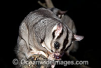 Sugar Glider Petaurus breviceps Photo - Gary Bell