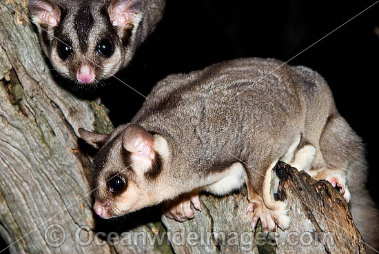 Sugar Gliders (Petaurus breviceps). Found in a range of forest habitats in nothern, eastern and south-eastern Australia Photo - Gary Bell