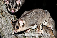 Sugar Gliders Petaurus breviceps