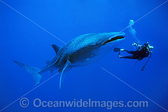 Scuba Diver photographing a Whale Shark (Rhincodon typus). Indo-Pacific. Found throughout the world in all tropical and warm-temperate seas. Classified Vulnerable on the IUCN Red List. Photo - Gary Bell