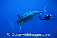 Whale Shark and Scuba Divers Photo - Gary Bell