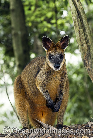 Swamp Wallaby (Wallabia bicolor). Found in a variety of dense forest habitats throughout eastern and south-eastern Australia Photo - Gary Bell