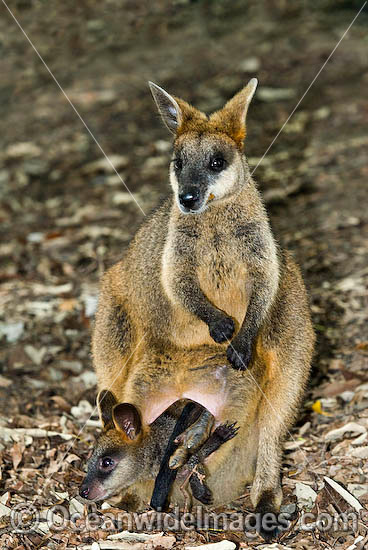 Swamp Wallaby (Wallabia bicolor) - mother with joey, or baby. Found in a variety of dense forest habitats throughout eastern and south-eastern Australia Photo - Gary Bell