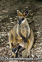 Swamp Wallaby Wallabia bicolor Photo - Gary Bell