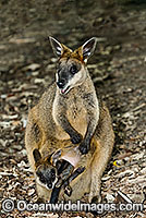 Swamp Wallaby mother and joey Photo - Gary Bell