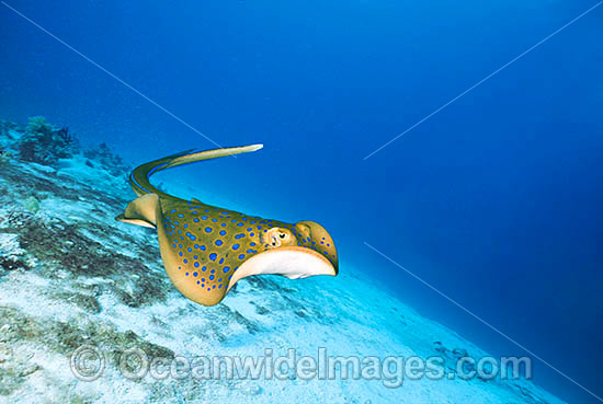 Bluespotted Ribbontail Ray  www.oceanwideimages.com