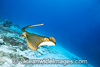 Blue-spotted Fantail Stingray Taeniura lymma Photo - Gary Bell