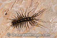 Centipede Scutigeromorpha sp. Photo - Gary Bell