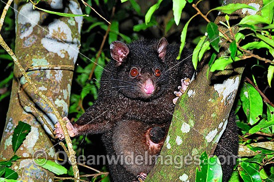 Mountain Brushtail Possum (Trichosurus caninus) - black form. Also known as Bobuck and Short-eared Brushtail Possum. Found in rainforests and forests of South-eastern Queensland, Eastern New South Wales and Southern Victoria, Australia. Photo - Gary Bell