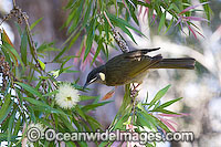 Lewin's Honeyeater Meliphaga lewinii Photo - Gary Bell