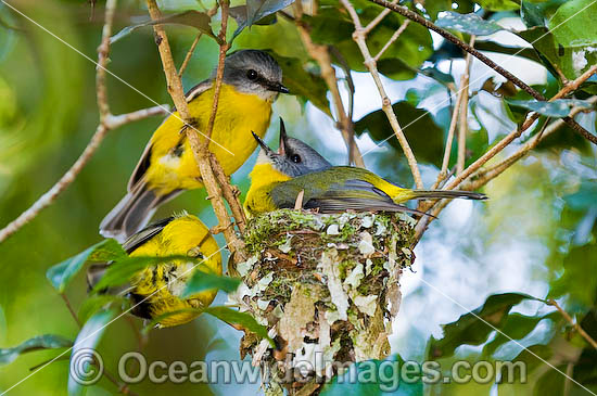 Eastern Yellow Robin (Eopsaltria australis) - parent bird in nest with accompanying partner. Lamington Plateau, South-eastern Queensland. Found in a wide range of habitat from dry woodlands to rainforest of Eastern and South-east Australia Photo - Gary Bell
