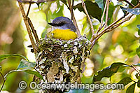 Eastern Yellow Robin in nest