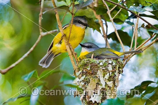 Eastern Yellow Robin (Eopsaltria australis) - parent bird in nest with accompanying partner. Lamington Plateau, South-eastern Queensland. Found in a wide range of habitat from dry woodlands to rainforest of Eastern and South-east Australia. Photo - Gary Bell
