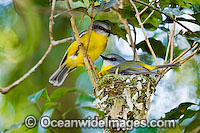 Eastern Yellow Robin Eopsaltria australis Photo - Gary Bell