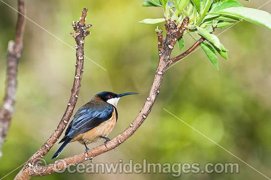 Eastern Spinebill (Acanthorhynchus tenuirostris) - male. Found in forests, woodlands and heaths east of the Great Dividing Range from Cooktown in far Northern Queensland to the Flinders Ranges in South Australia, Australia. Photo - Gary Bell