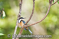 Eastern Spinebill Acanthorhynchus tenuirostris Photo - Gary Bell