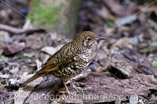 Bassian Thrush (Zoothera lunilata). Found in rainforests, eucalypt forests and woodlands of South-eastern Qld, NSW, Vic and Tas, Australia. Photo taken at Lamington World Heritage National Park, Queensland, Australia. Photo - Gary Bell