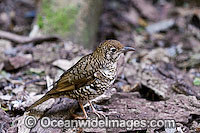 Bassian Thrush Zoothera lunulata Photo - Gary Bell
