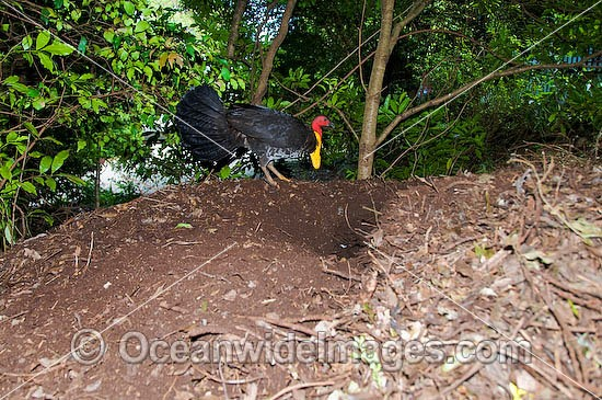 Australian Brush Turkey (Alectura lathami) or Bush Turkey - male attending leaf-litter nest mound. Yellow breeding wattle around base of neck. Found in temperate to tropical rainforests and around gullies in wet eucalypt forests of eastern Australia. Photo - Gary Bell
