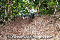 Australian Brush Turkey attending nest mound image