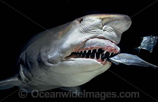 Nurse shark teeth - photo#26