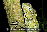 Southern Angle-headed Dragon Hypsilurus spinipes image