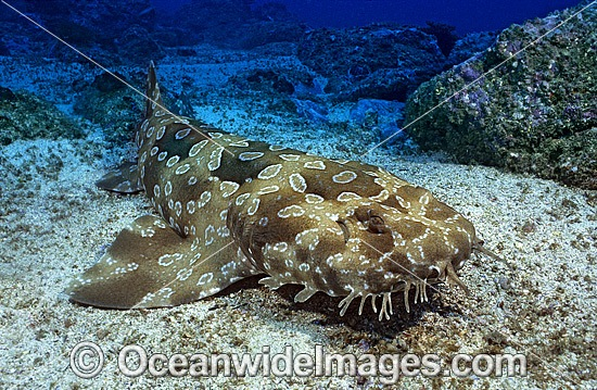 Spotted Wobbegong Shark Orectolobus Maculatus Photo