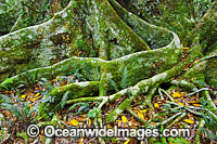 Rainforest buttress tree roots Photo - Gary Bell